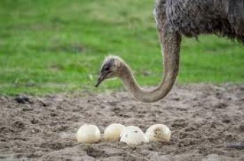 struś i jajka