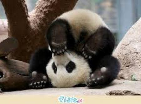 Gimnastyka dla małej Pandy