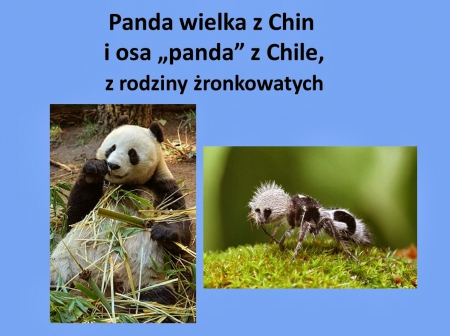 Panda Wielka i jej kopia