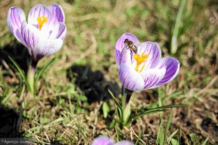 Wiosna , Wiosna Ach to Ty