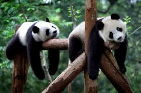 Tak lenią się pandy.